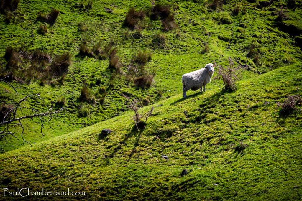 Nouvelle Zélande-Mouton-île sud sud