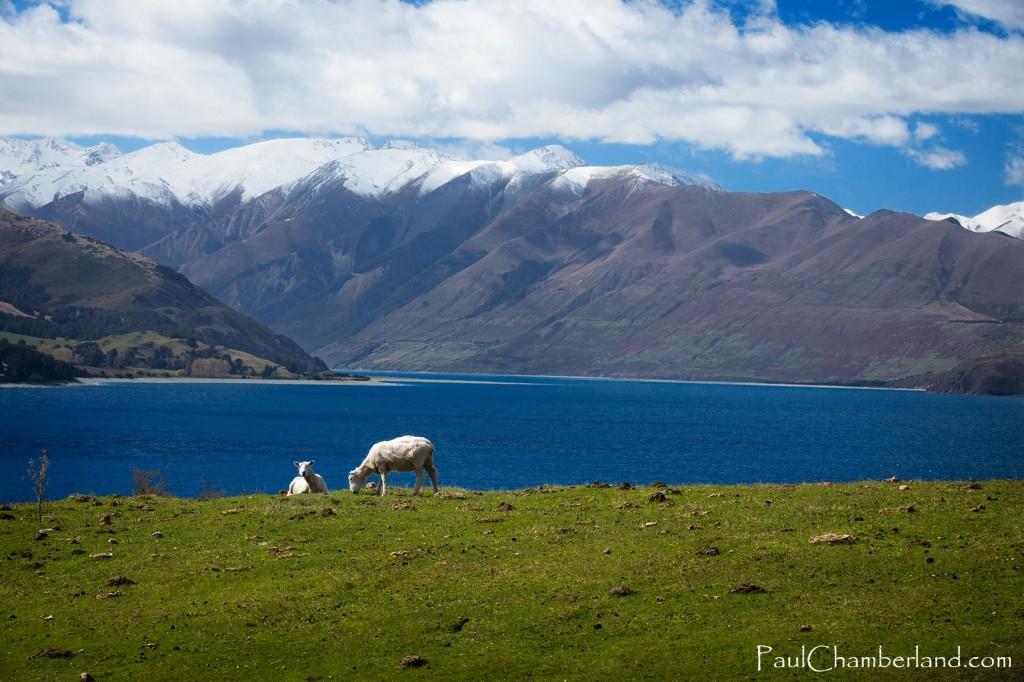 Nouvelle Zélande-Mouton-île sud sud-lac Hawea